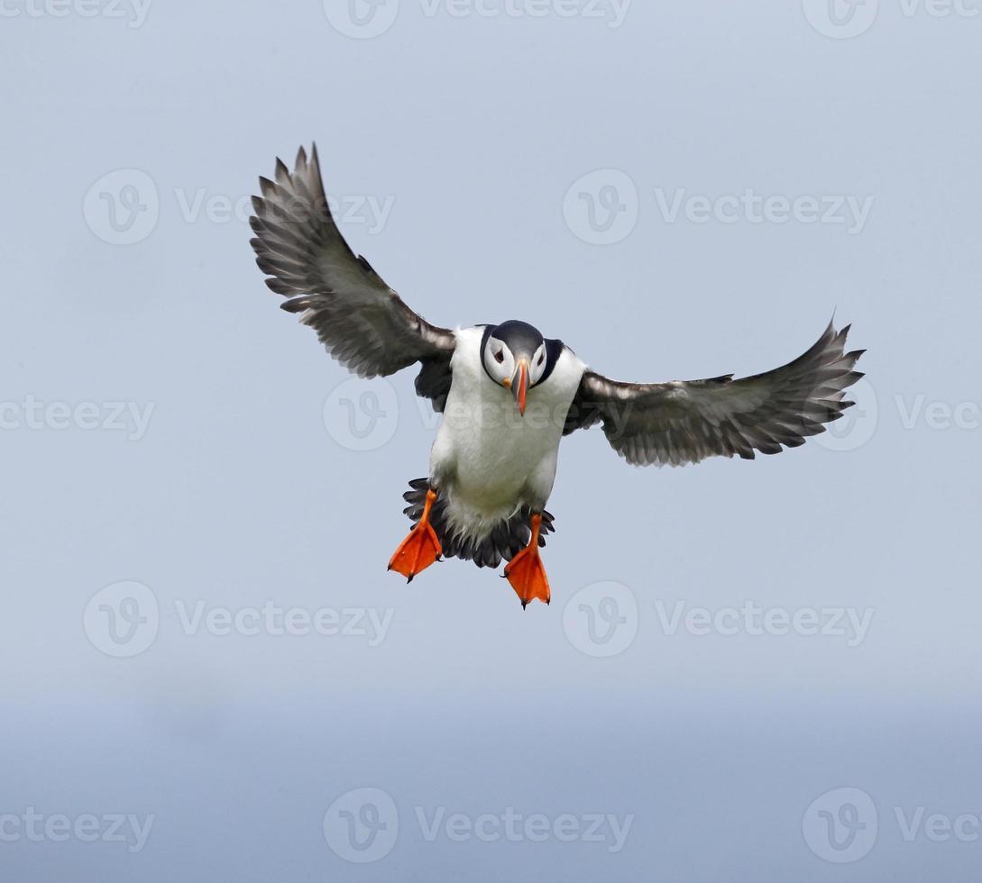 papagaio-do-mar, fratercula arctica foto