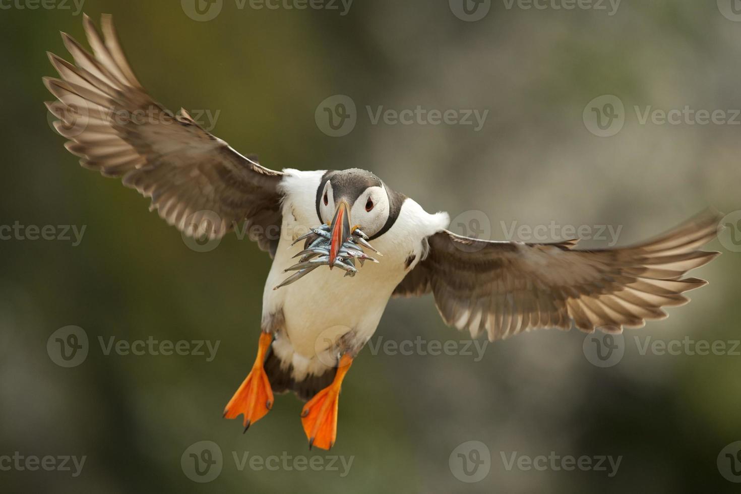papagaio-do-mar em voo com enguias de areia foto