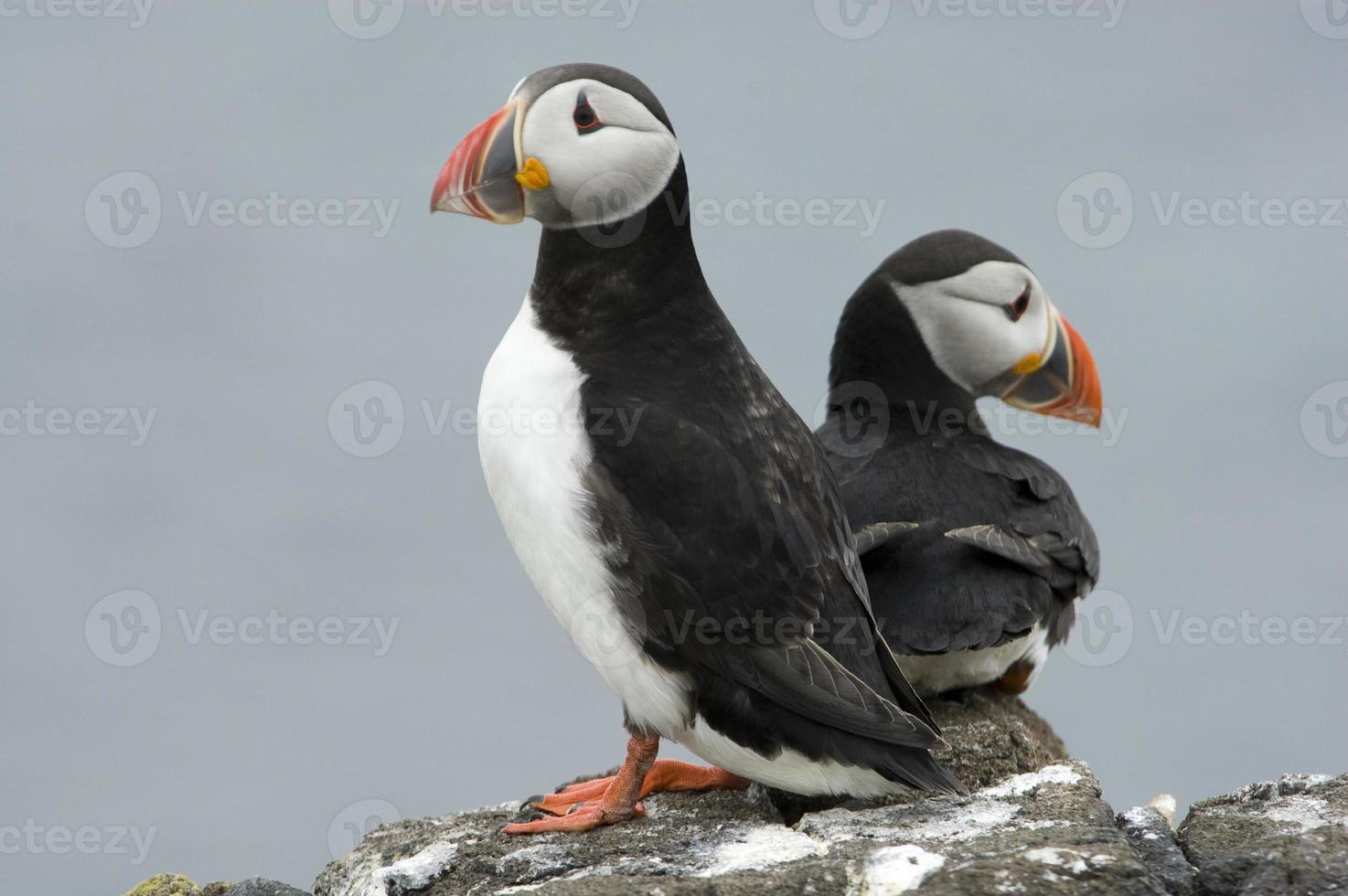 papagaio-do-mar atlântico foto