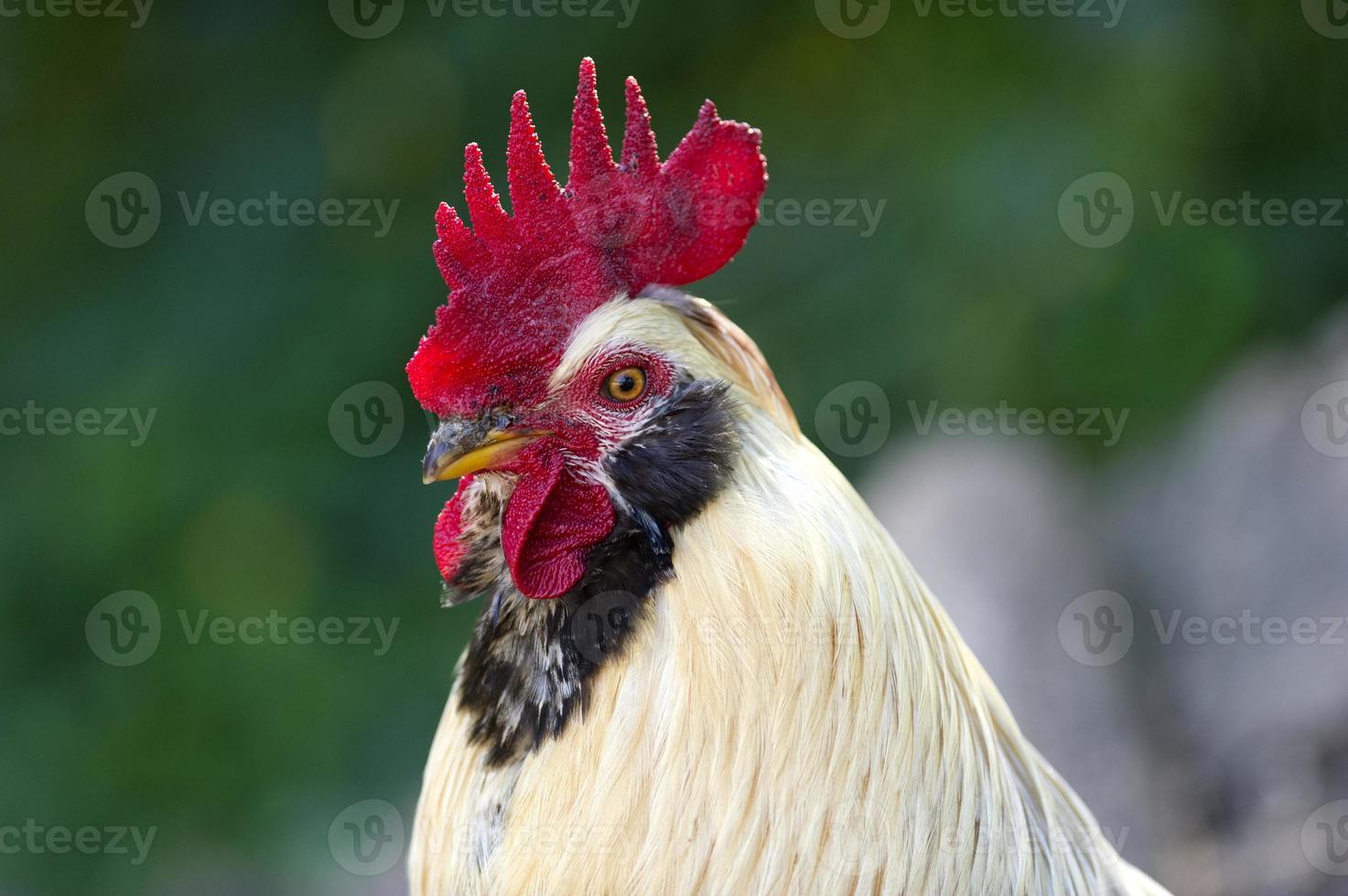 animal de fazenda galo foto