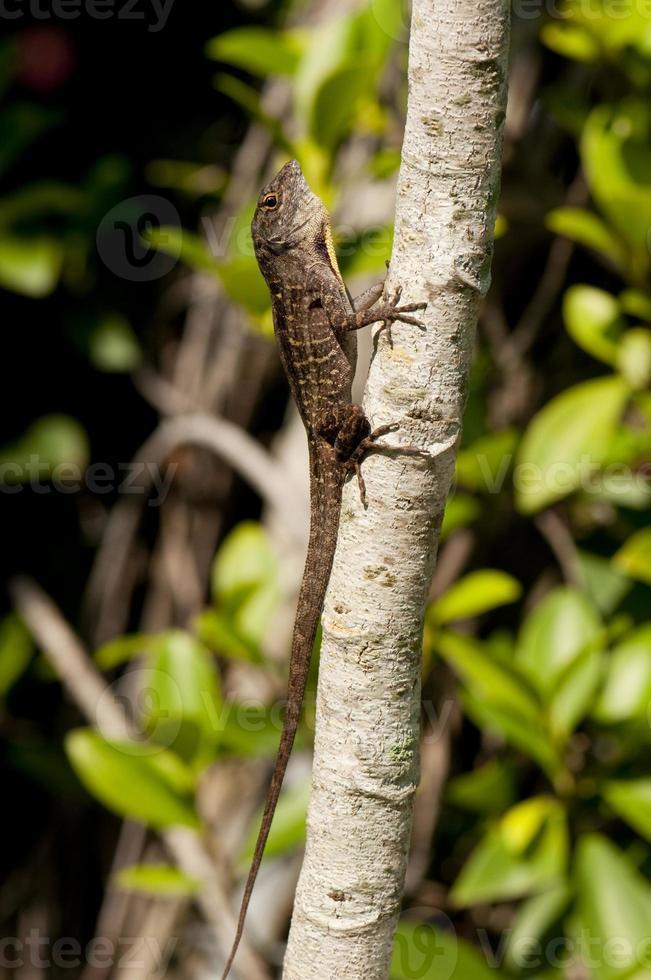 lagarto mutável foto