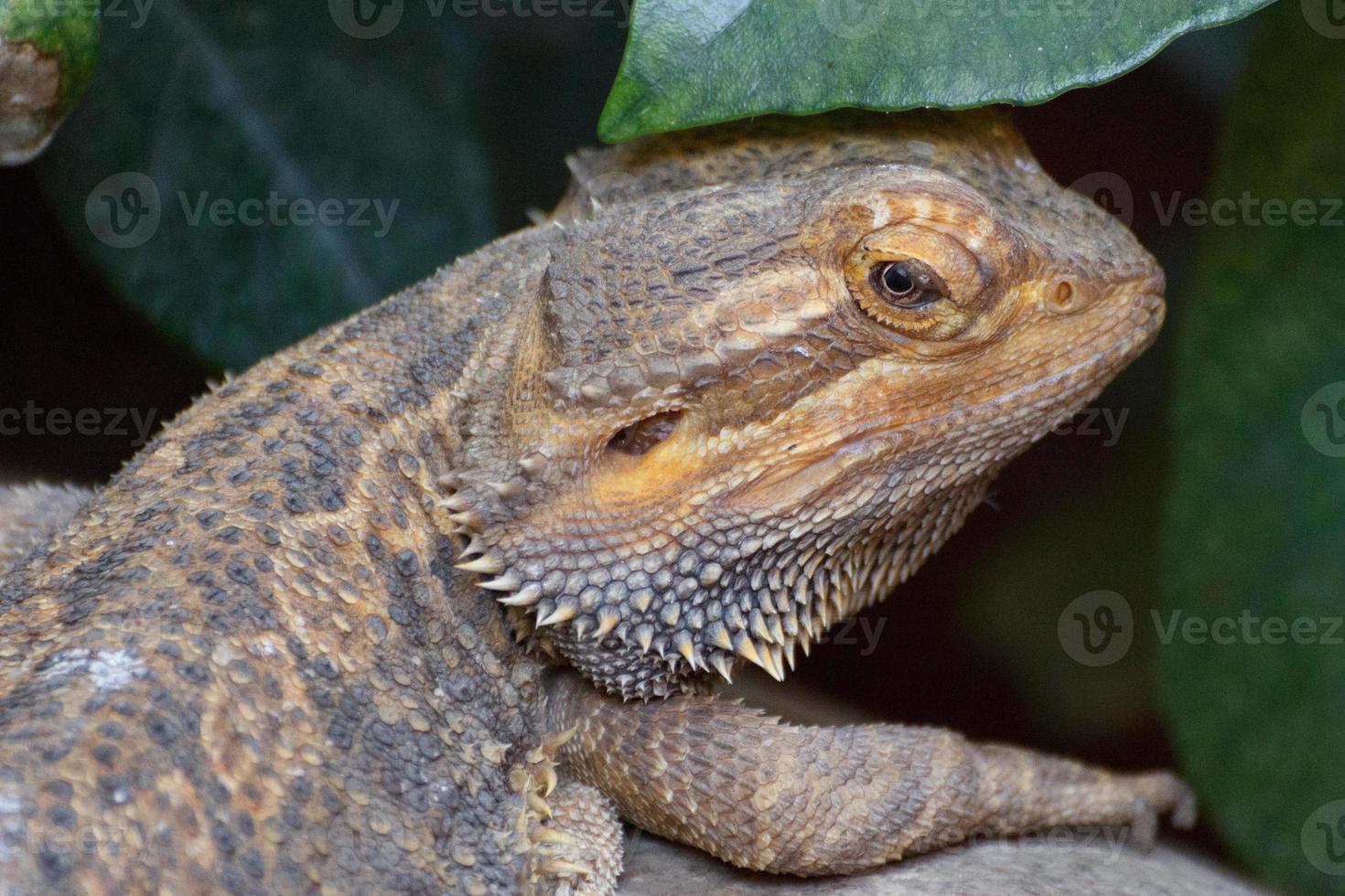 close-up de lagarto bartagame foto