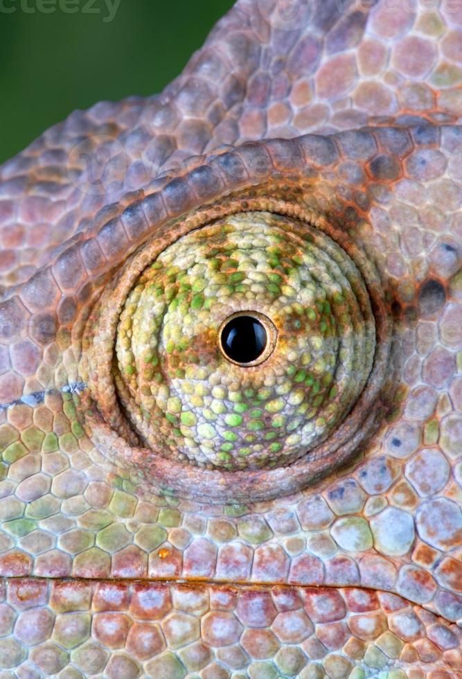 olho camaleão close-up foto