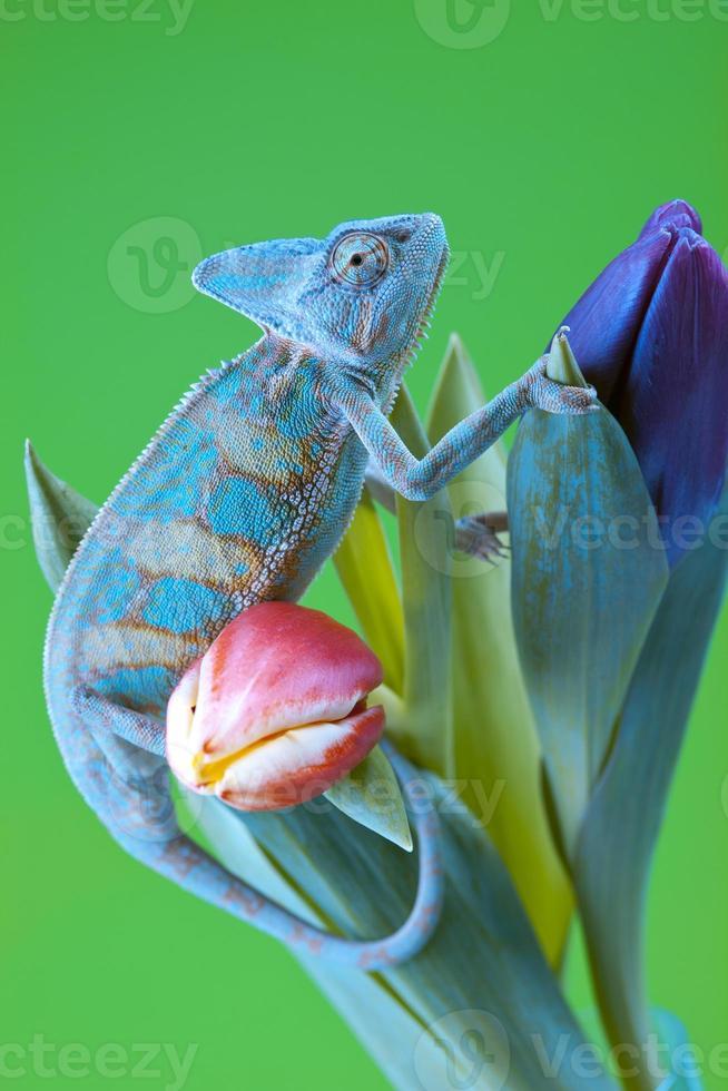 lindo camaleão grande foto