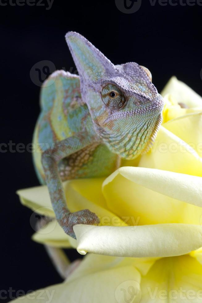 camaleão grande foto