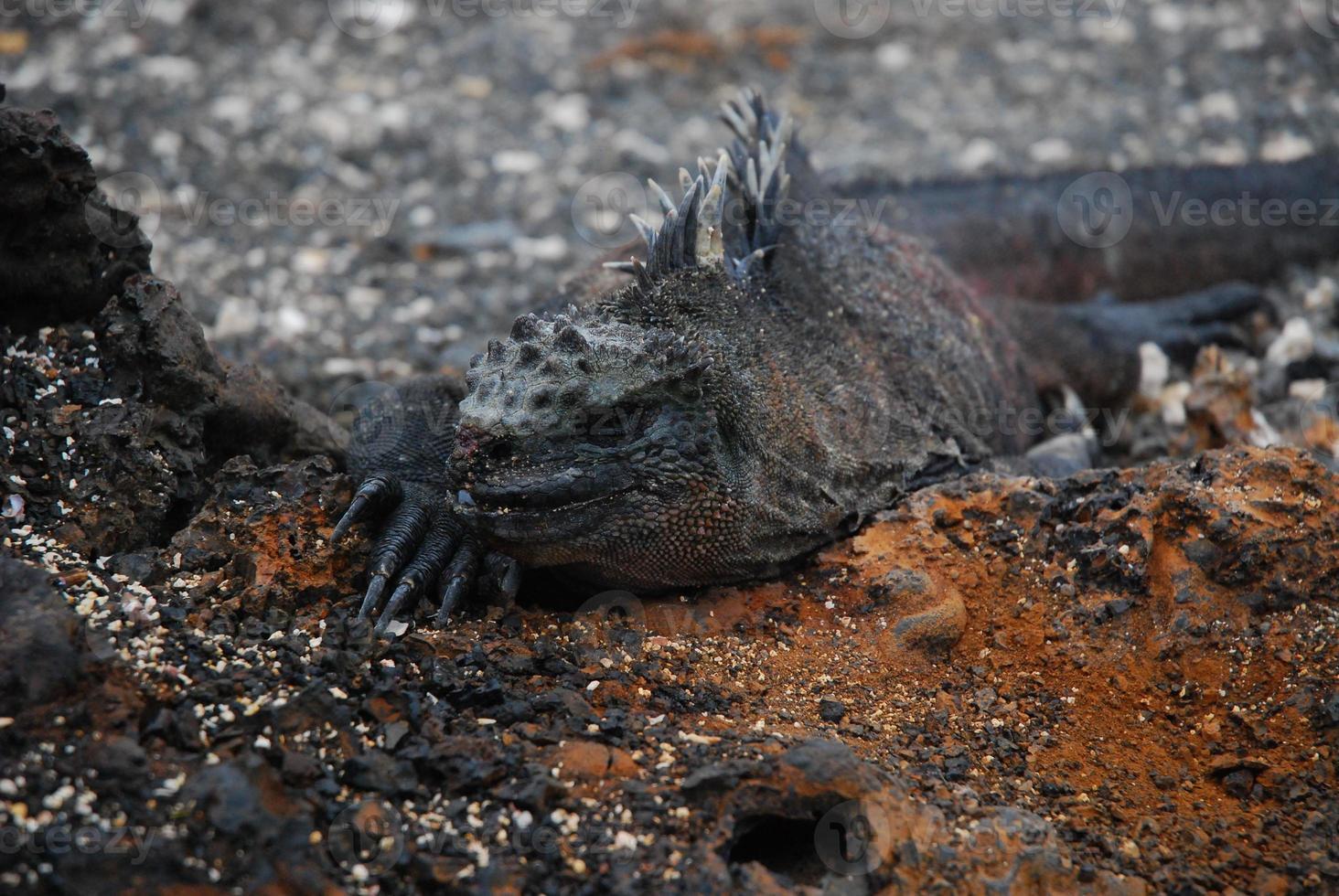 iguana marinha de galápagos foto