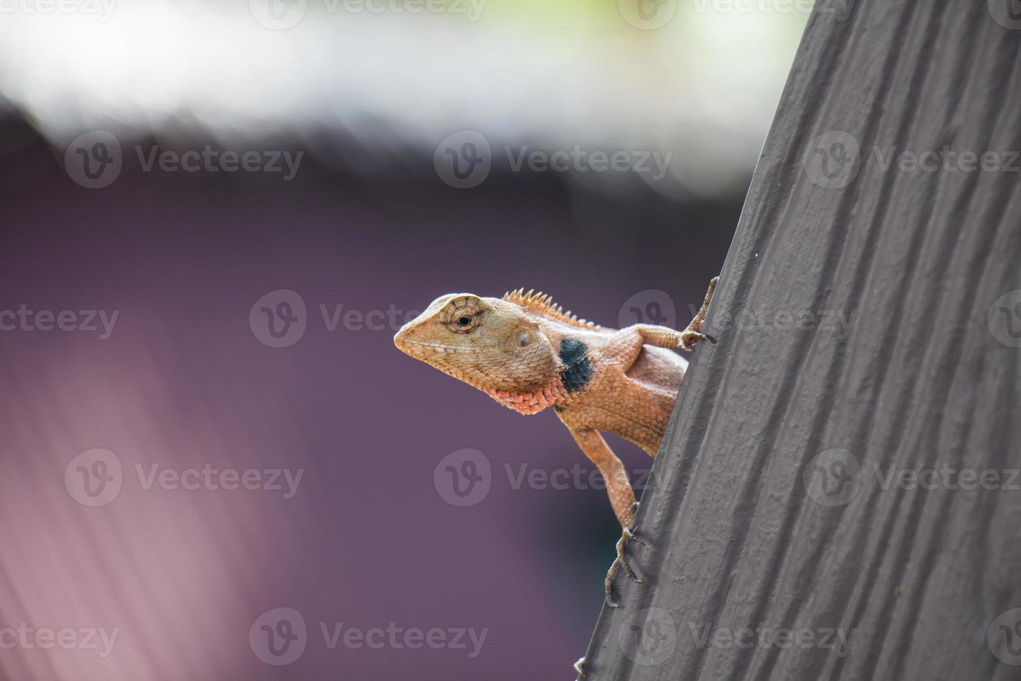 lagarto tropical em um telhado foto