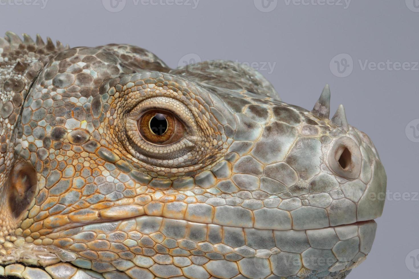 iguana verde closeup sobre fundo azul foto