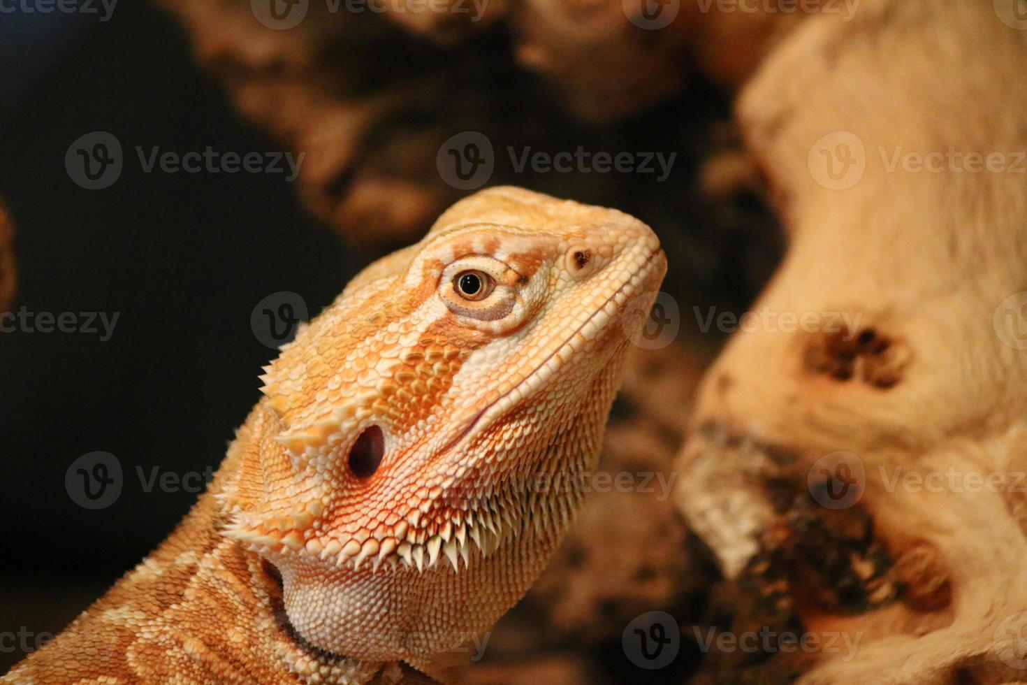 lagarto dragão barbudo em um pedaço de madeira foto