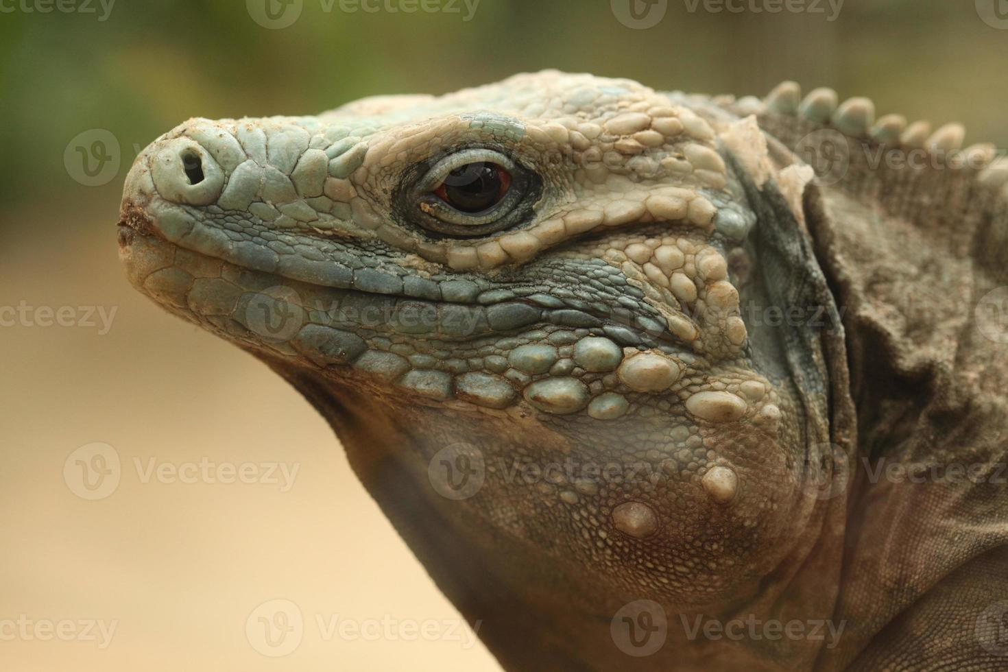 iguana azul (cyclura lewisi) foto