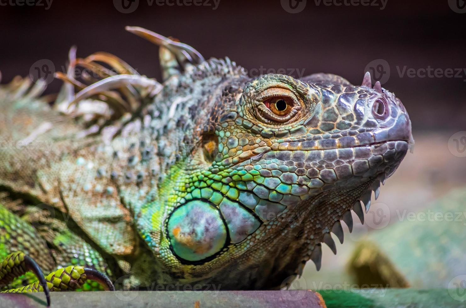 close-up de uma iguana verde masculina (iguana iguana). foto