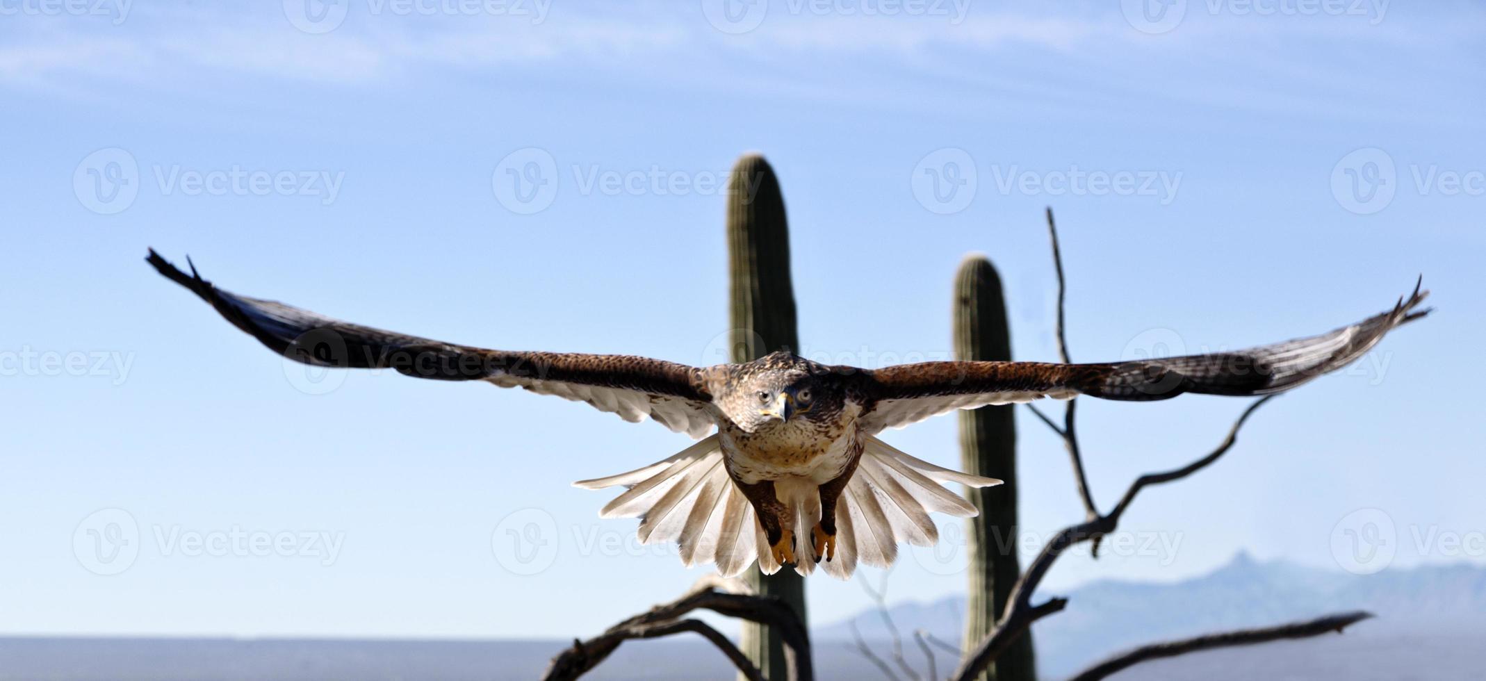 falcão ferruginoso com grande asa visível foto