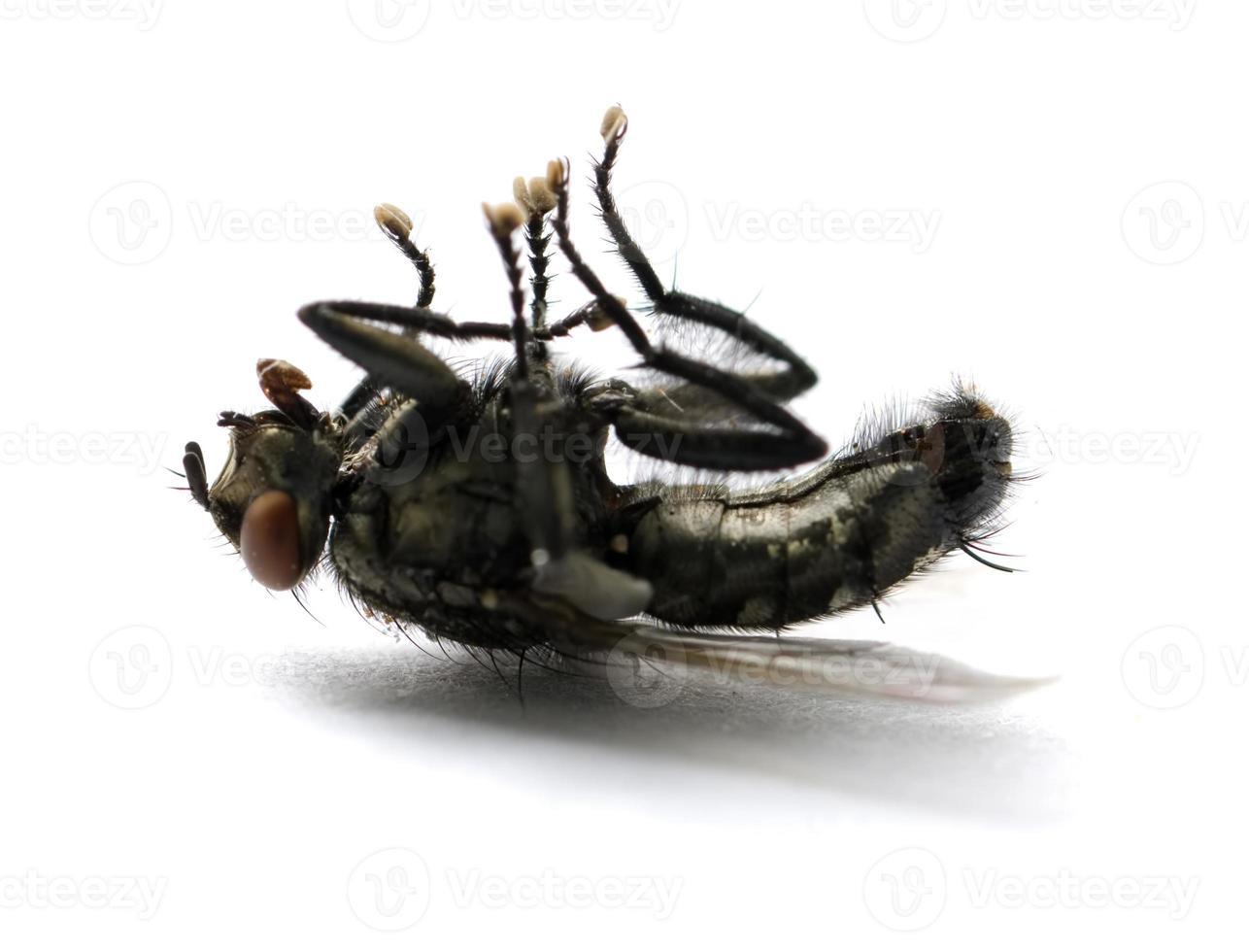mosca morta foto