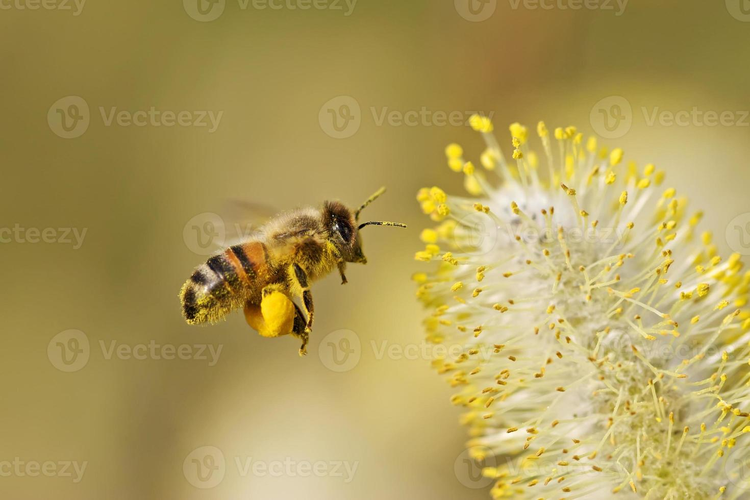 abelha coletando pólen foto