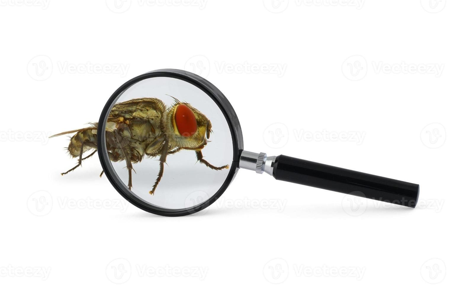 inseto mosca ampliada foto