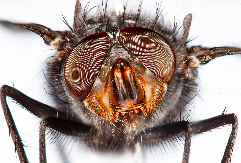 mosca close-up. foto