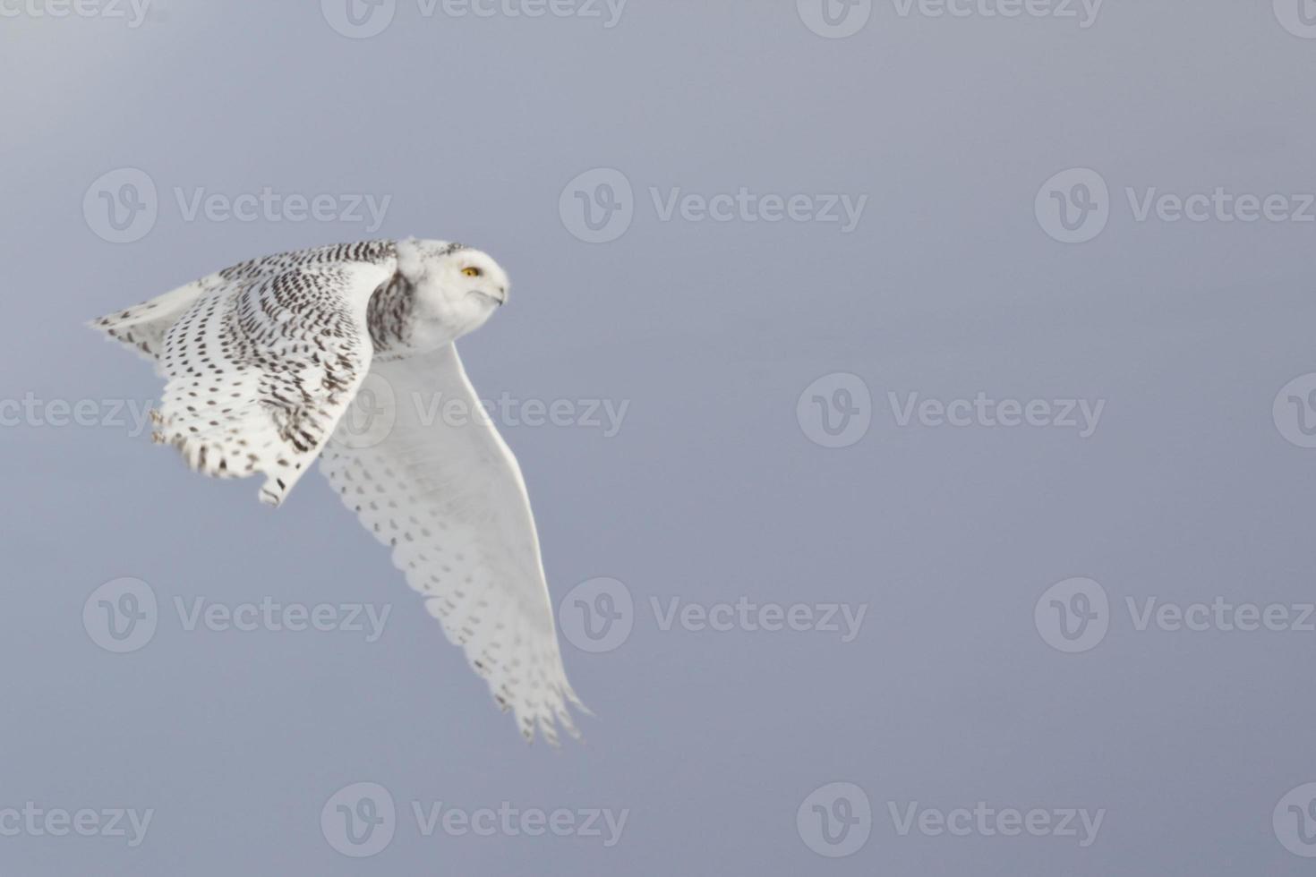 coruja, bubo scandiacus, voando foto