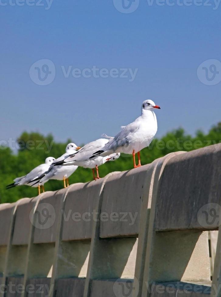 gaivota foto