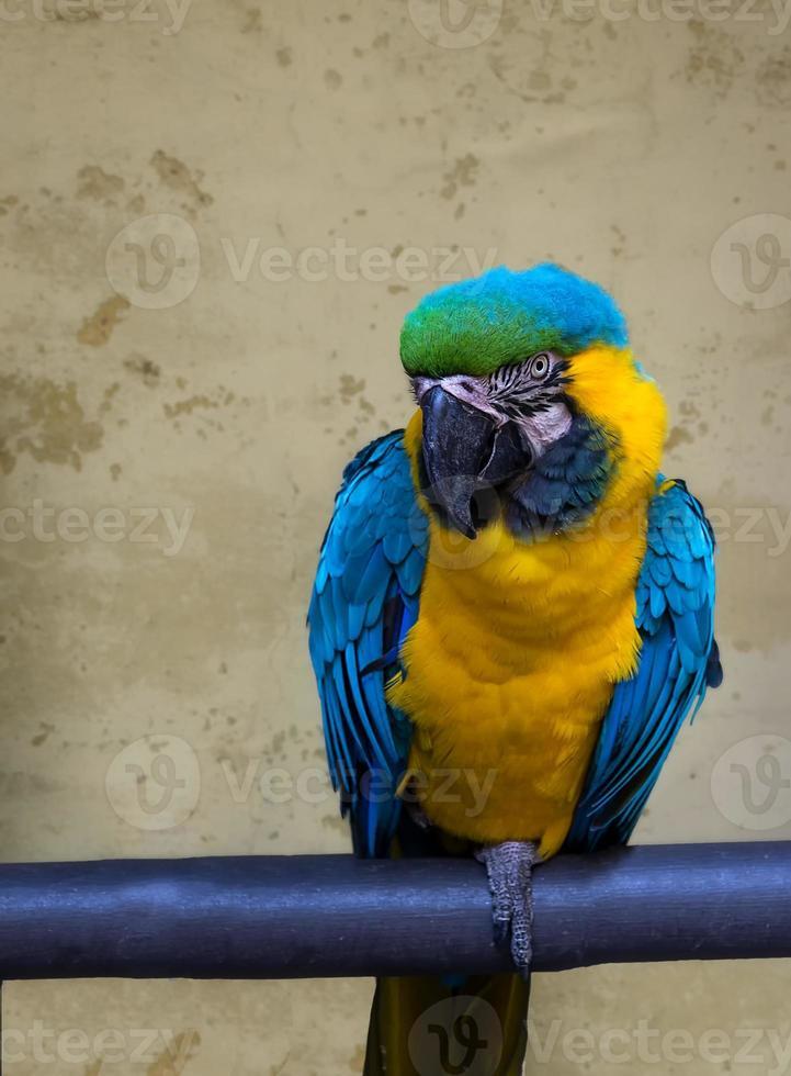 papagaio. foto