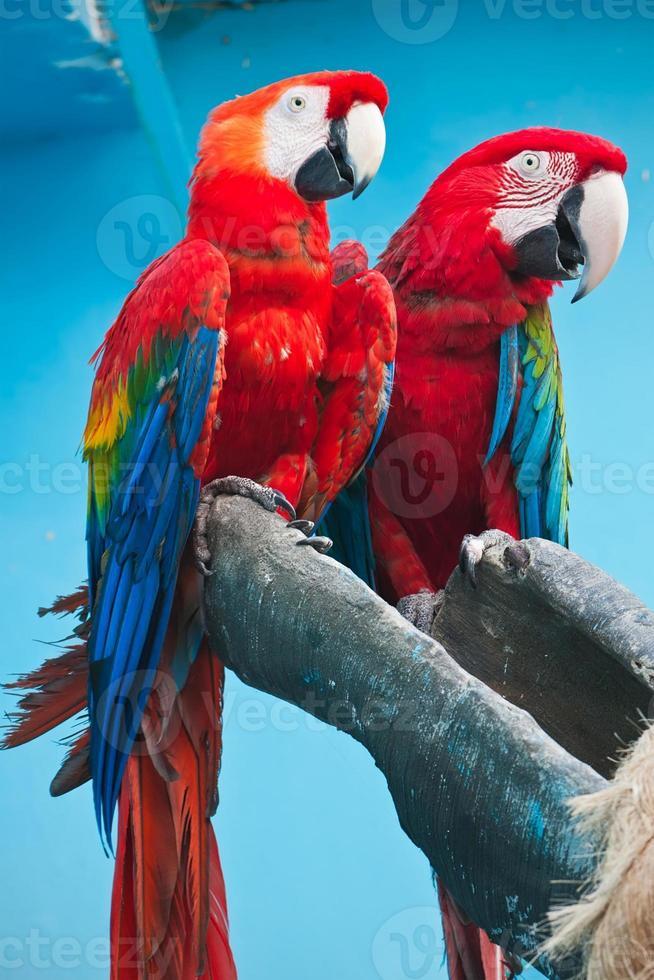 ara papagaio foto