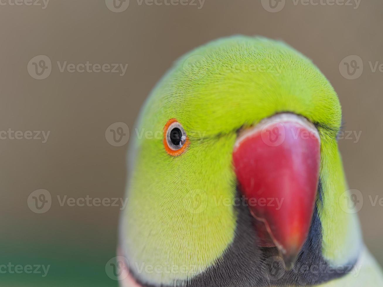 lindo papagaio bege vermelho foto