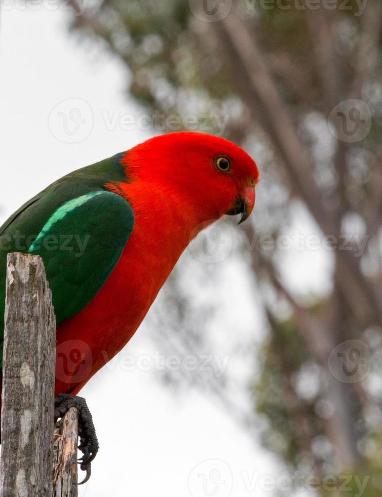 papagaio rei empoleirado na cerca em drouin victoria austrália foto