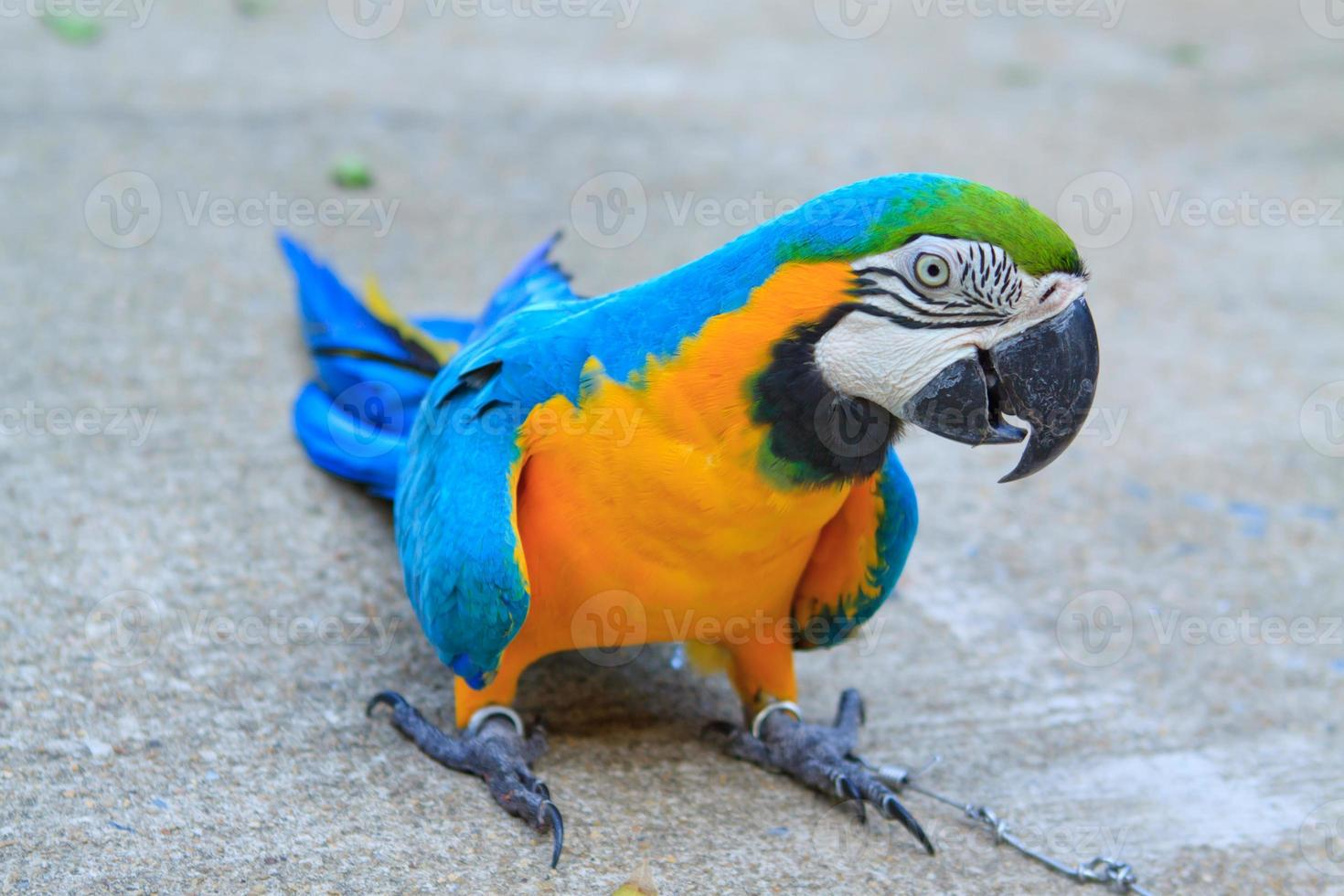 papagaio grande foto