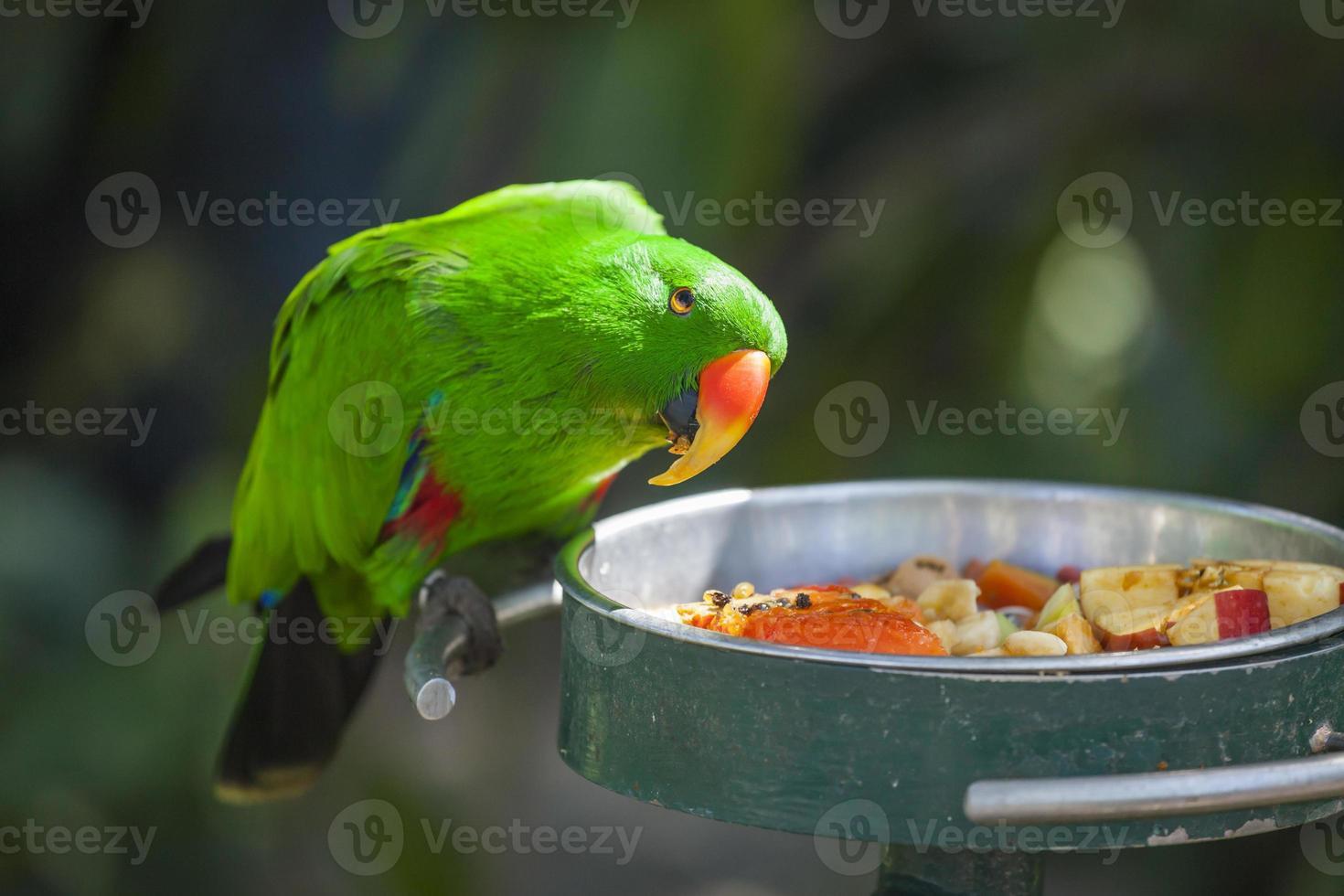 papagaio masculino eclectus indonésio foto