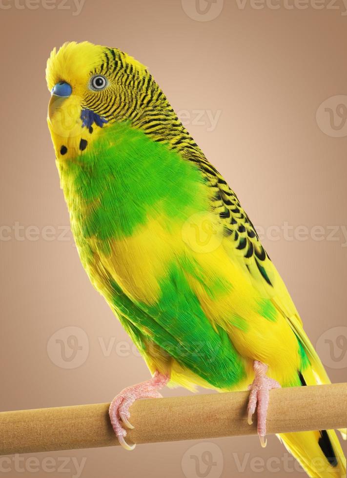 periquito australiano. papagaio. foto