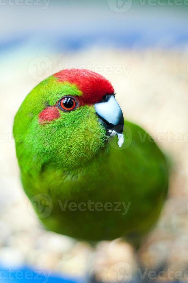 alimentação papagaio foto