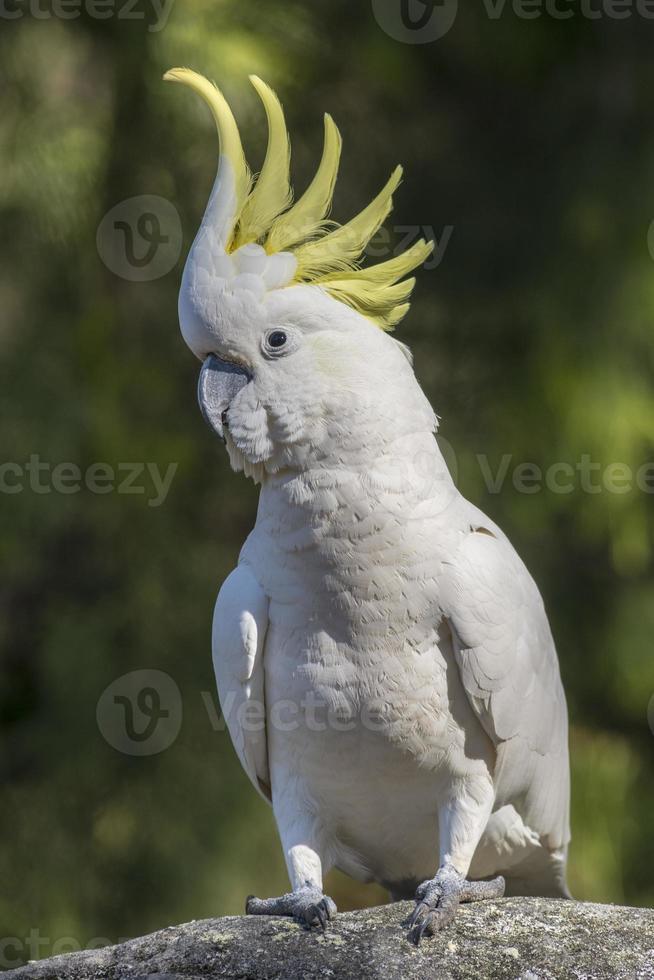 cacatua com crista de enxofre, crista amarela elevada, austrália foto