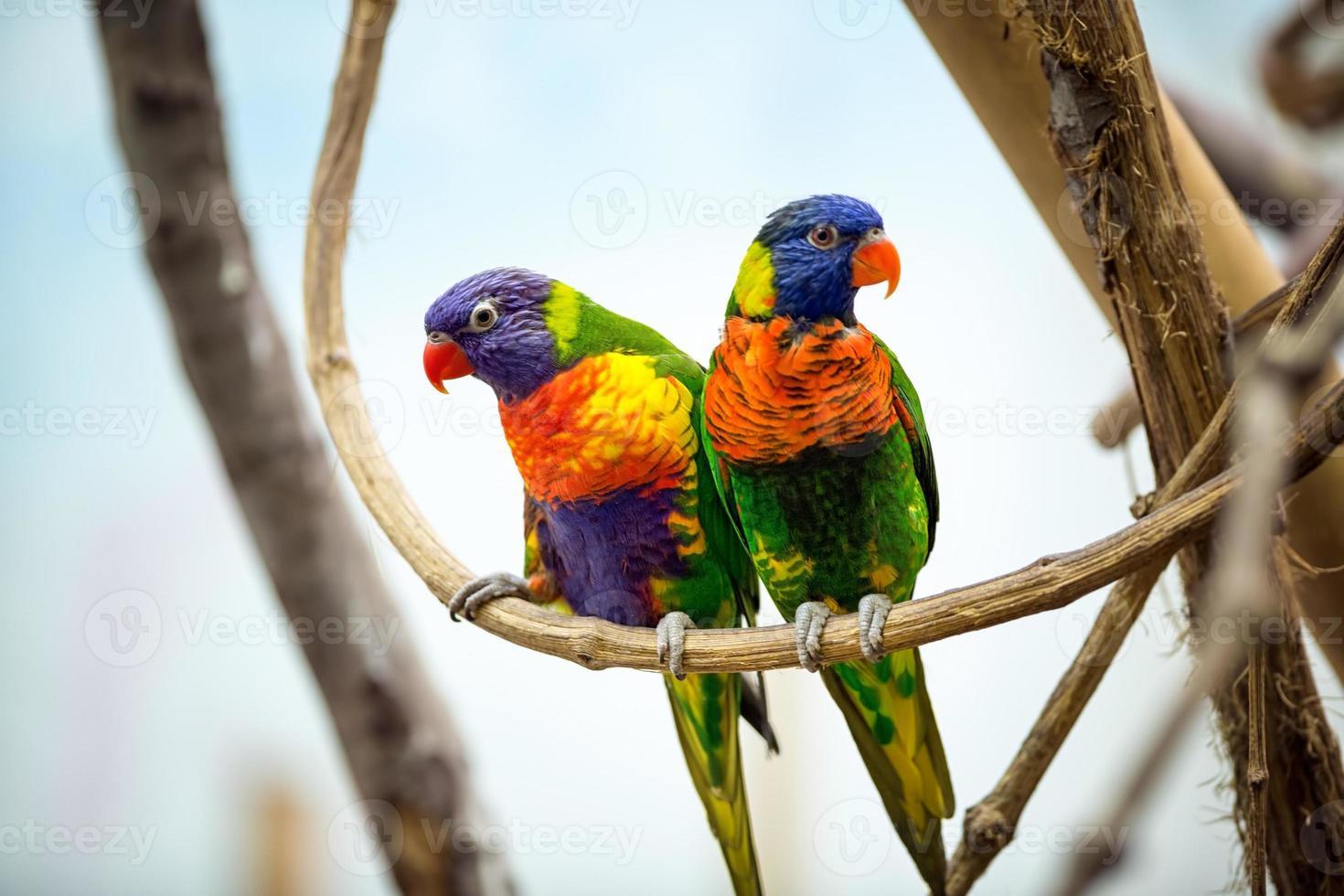 casal papagaio foto