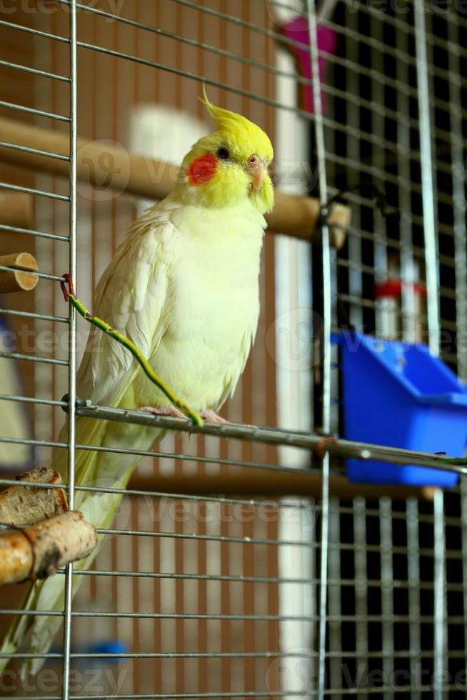 papagaio periquito atrevido foto