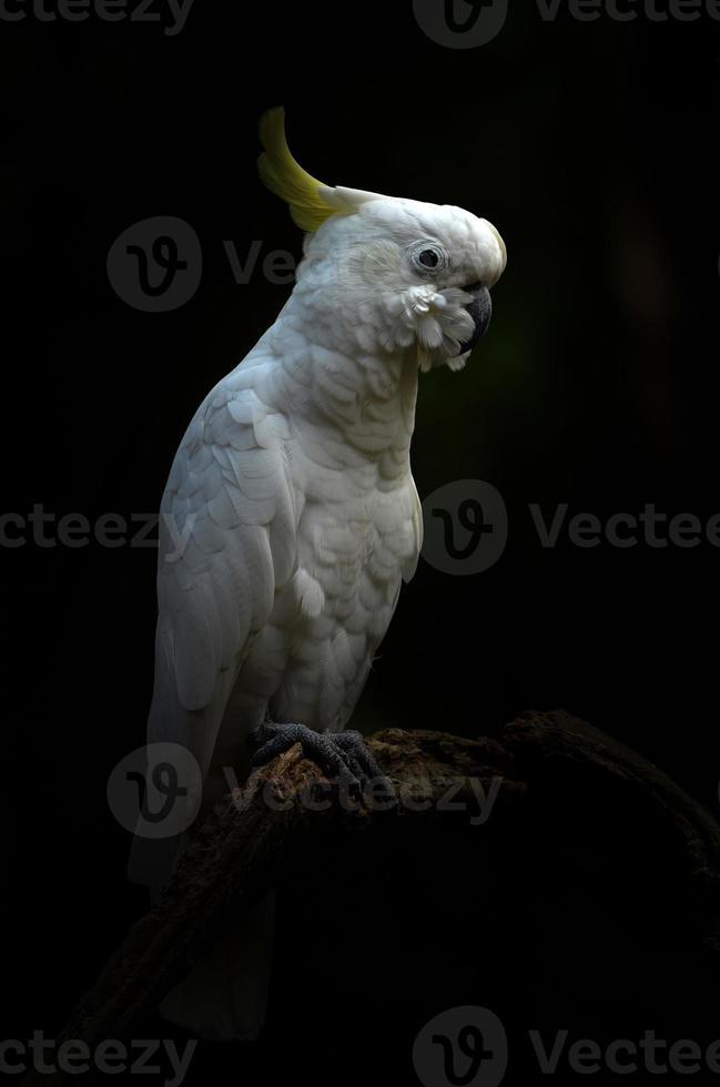 cacatua-de-crista-amarela menor foto