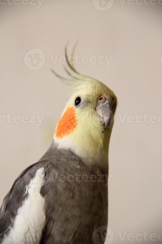 retrato de papagaio corella foto