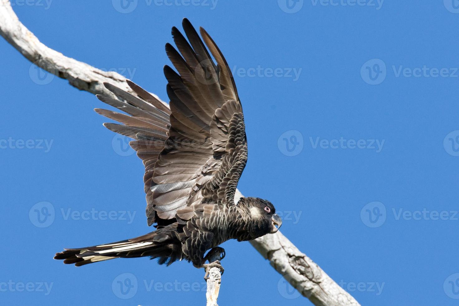blac-cacatua de carnaby - pássaro australiano nativo foto
