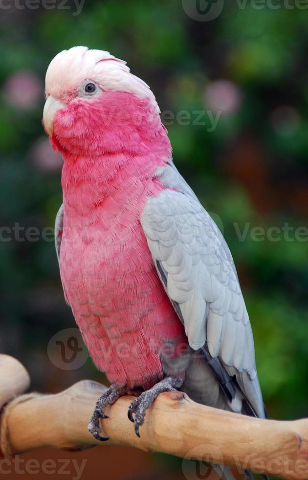 galah rosa cacatua papagaio pássaro foto