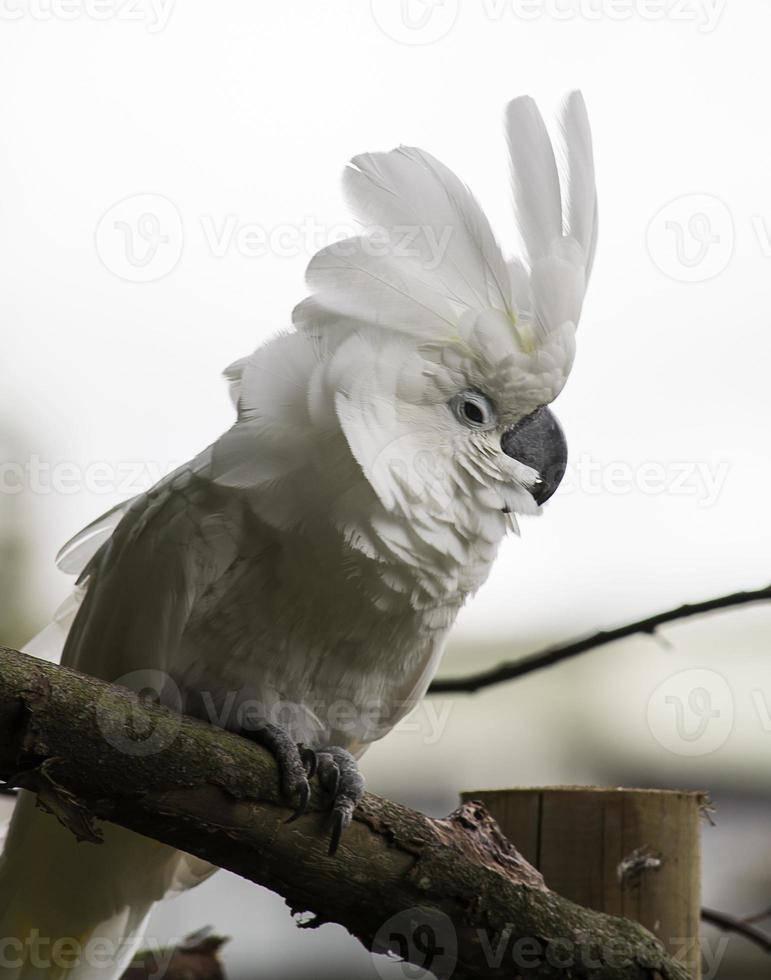 papagaio cacatua branca foto