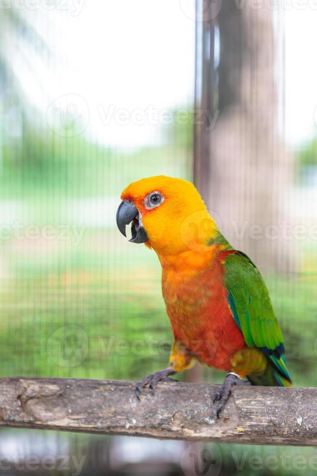 conure colorido de jandaya foto