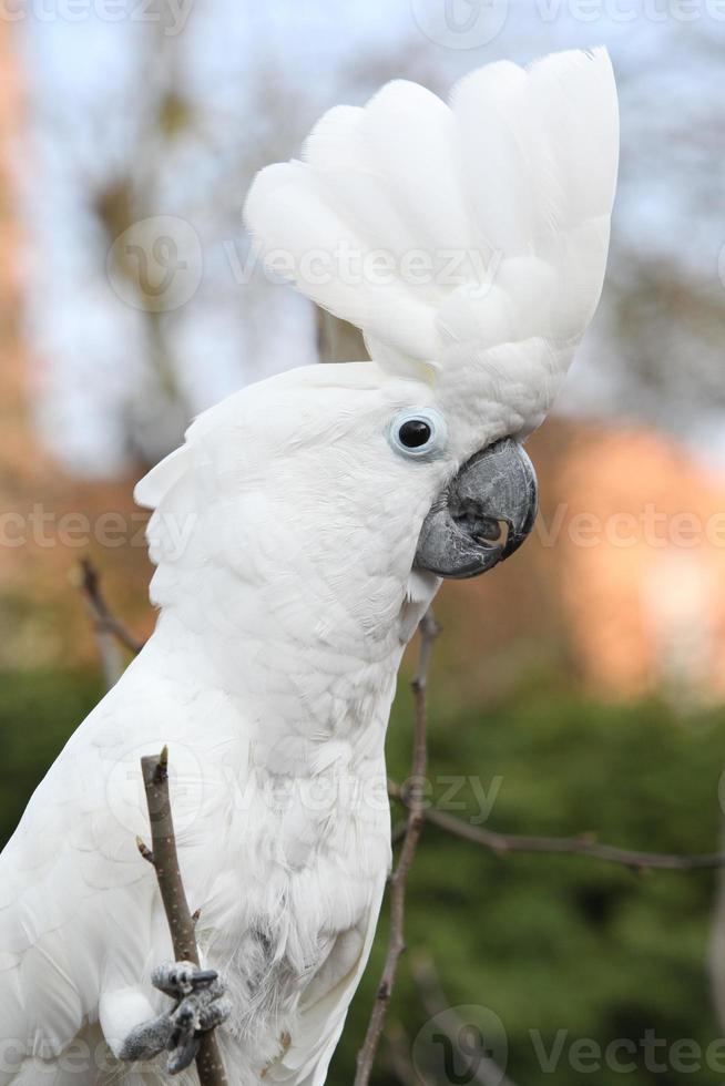 papagaio cacatua-de-crista-olhando para você foto