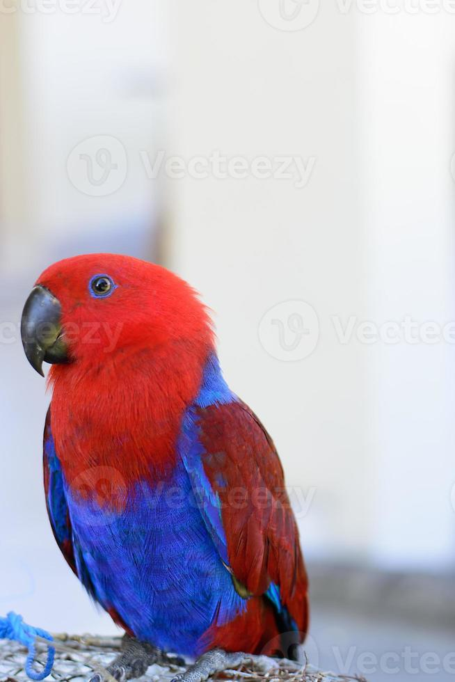 papagaio vermelho e azul foto