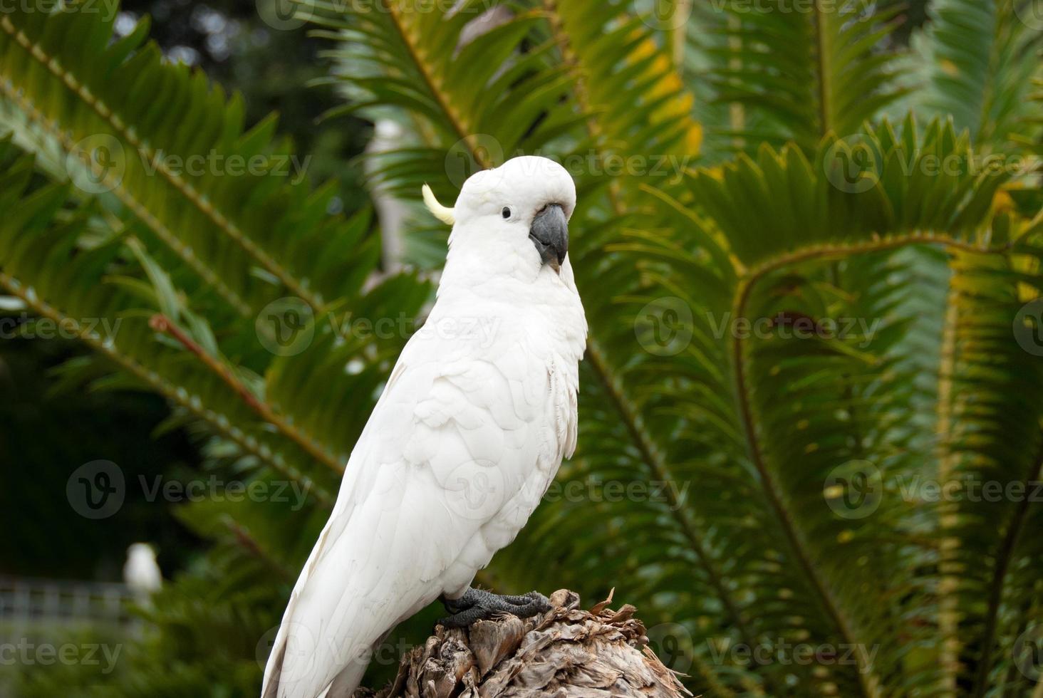 cacatua australiana branca olhando foto