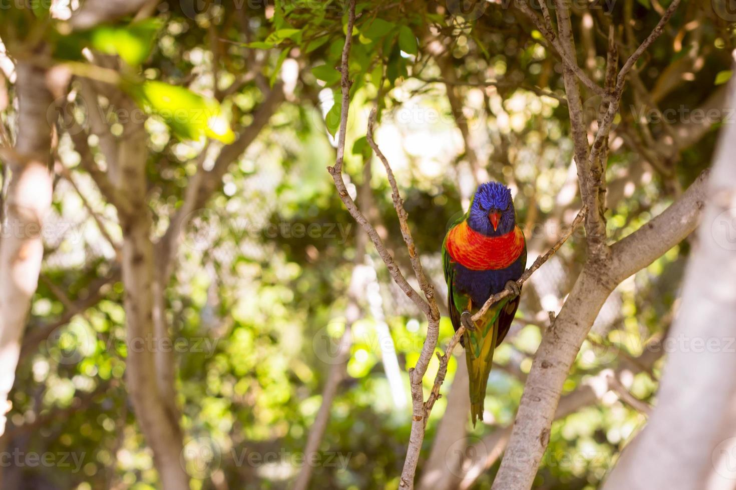 papagaio brilhante no parque loro foto