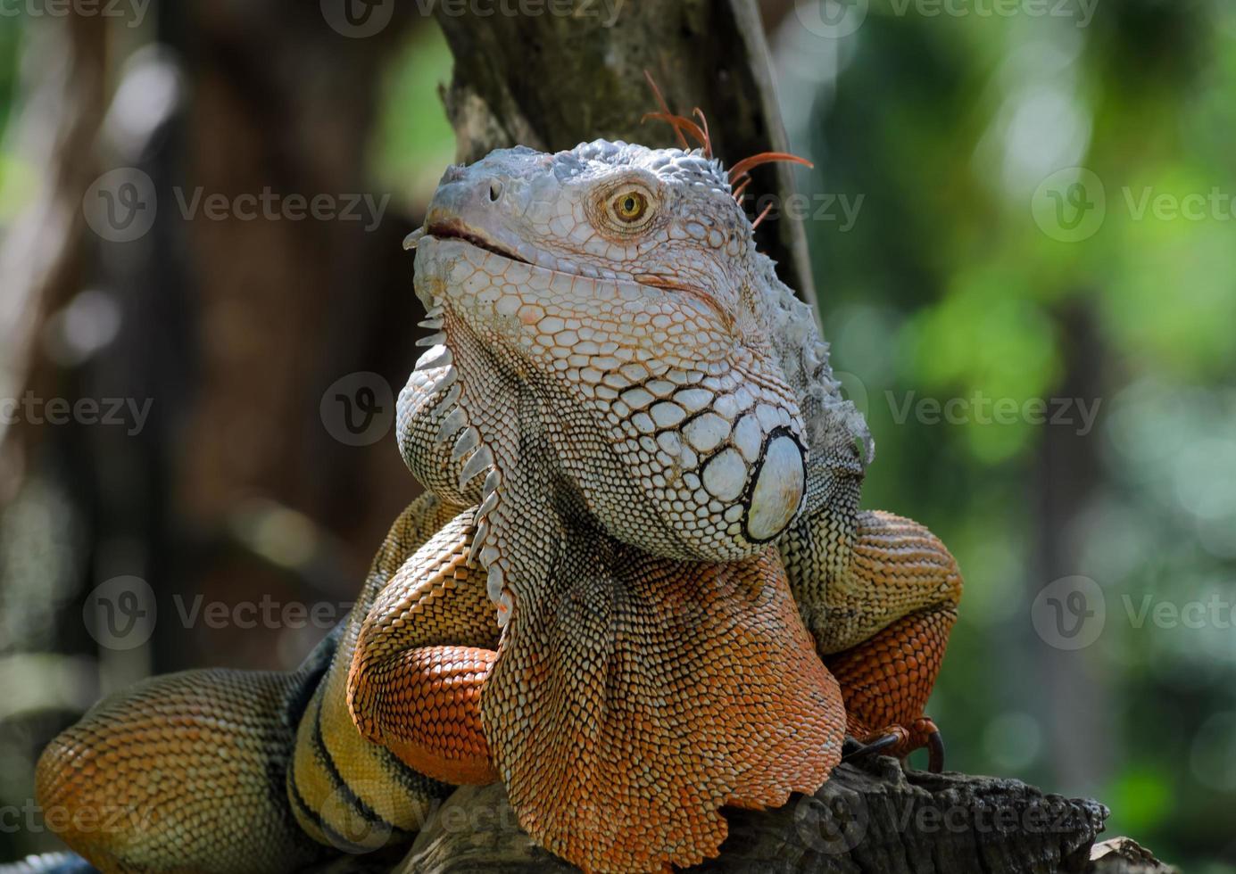 iguana foto