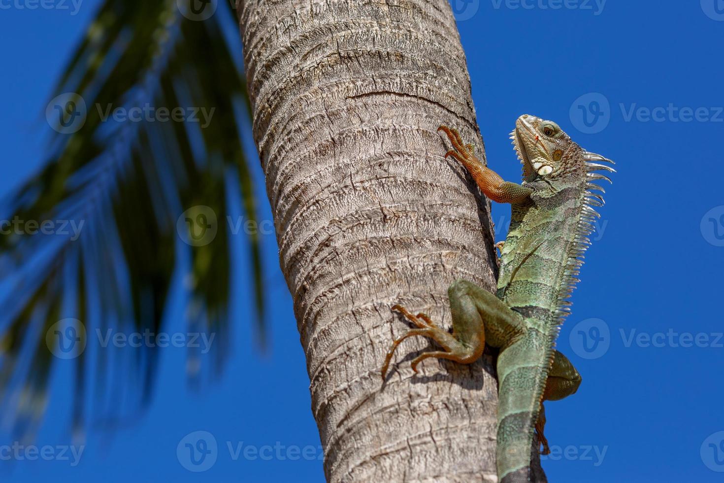 iguana verde em um tronco de árvore de palma foto