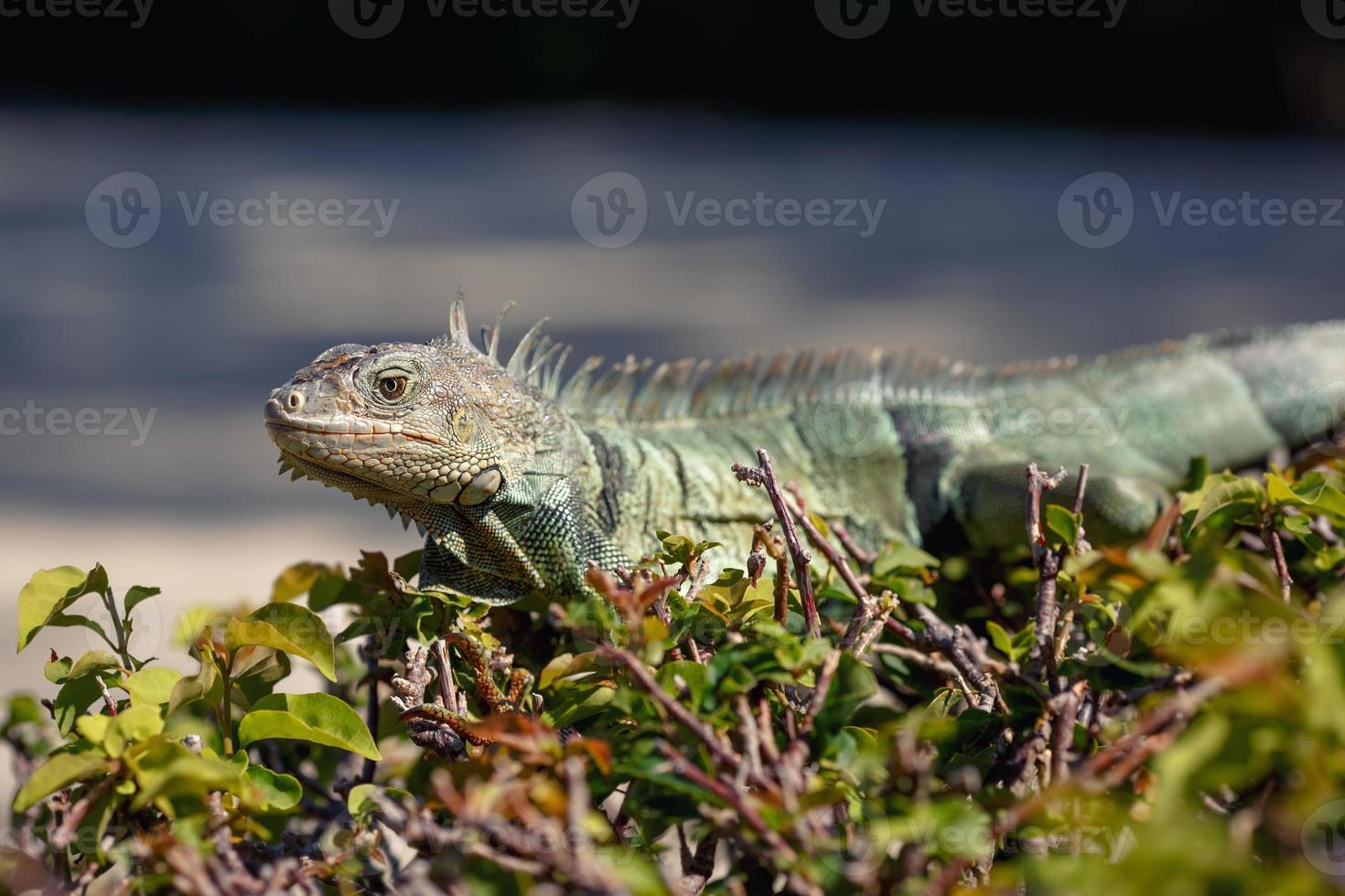 retrato de iguana verde sentado no galho foto