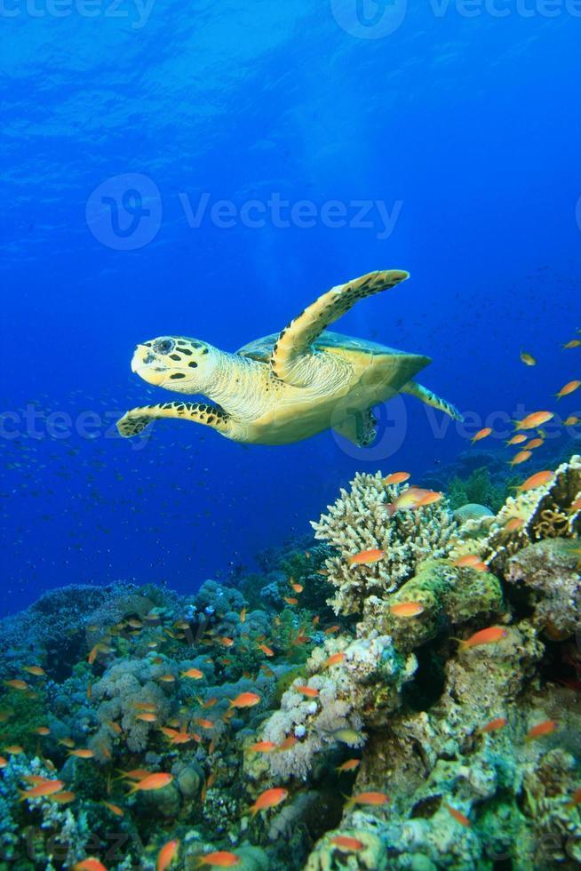 tartaruga-de-pente e recife de coral foto