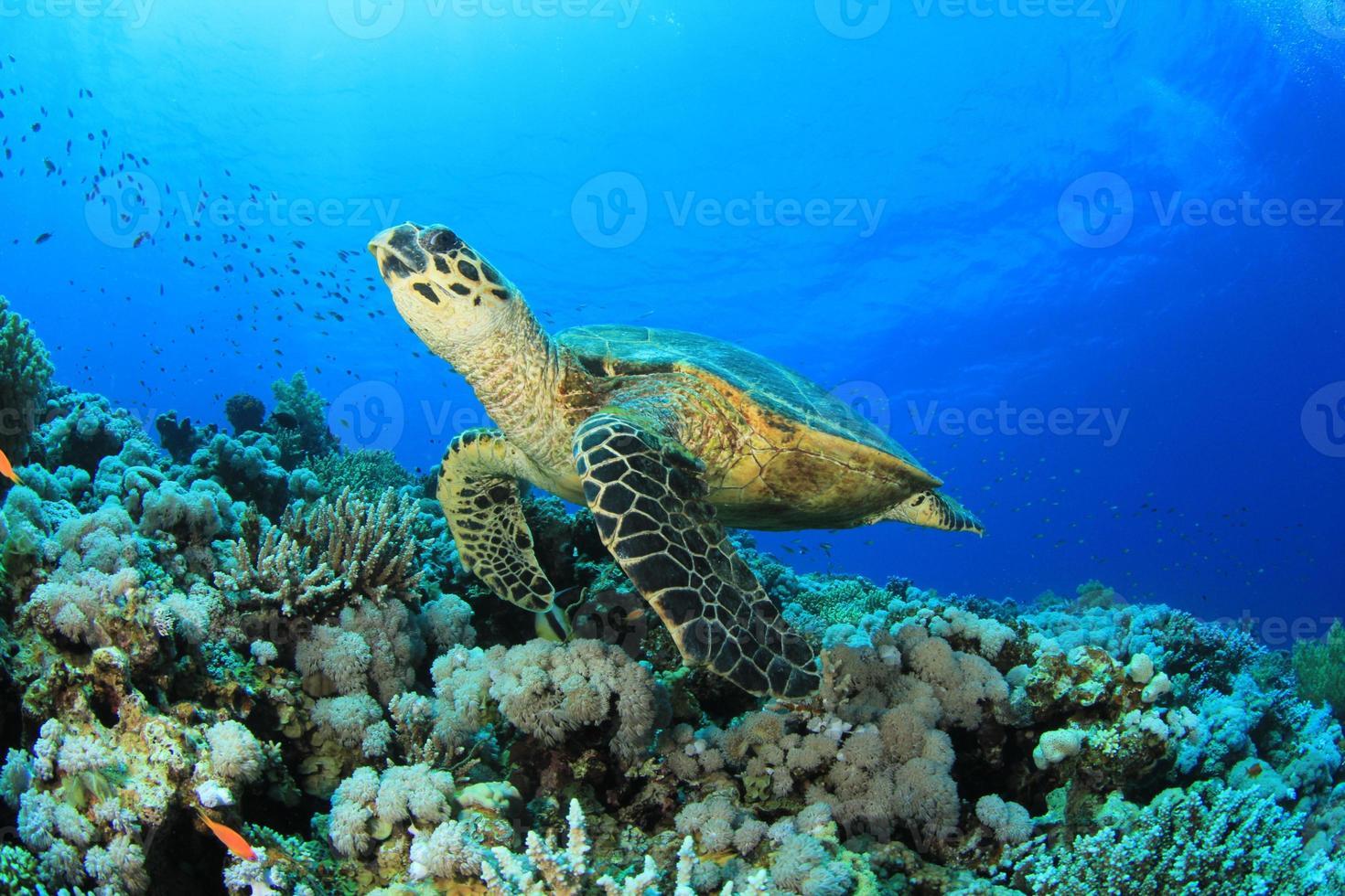 tartaruga marinha nadando perto de recifes de corais foto