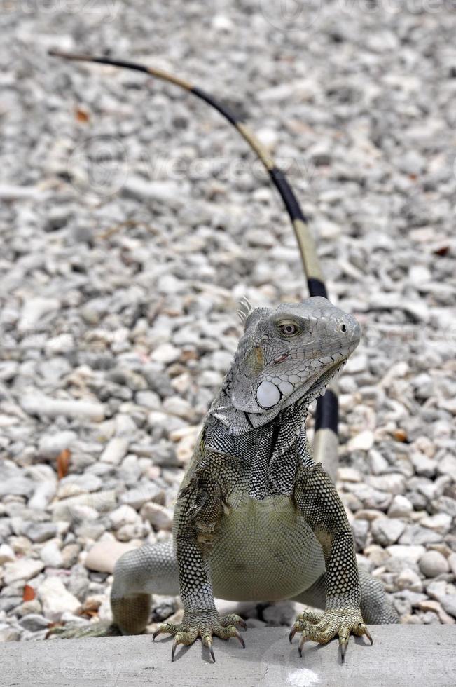 iguana bonaire foto