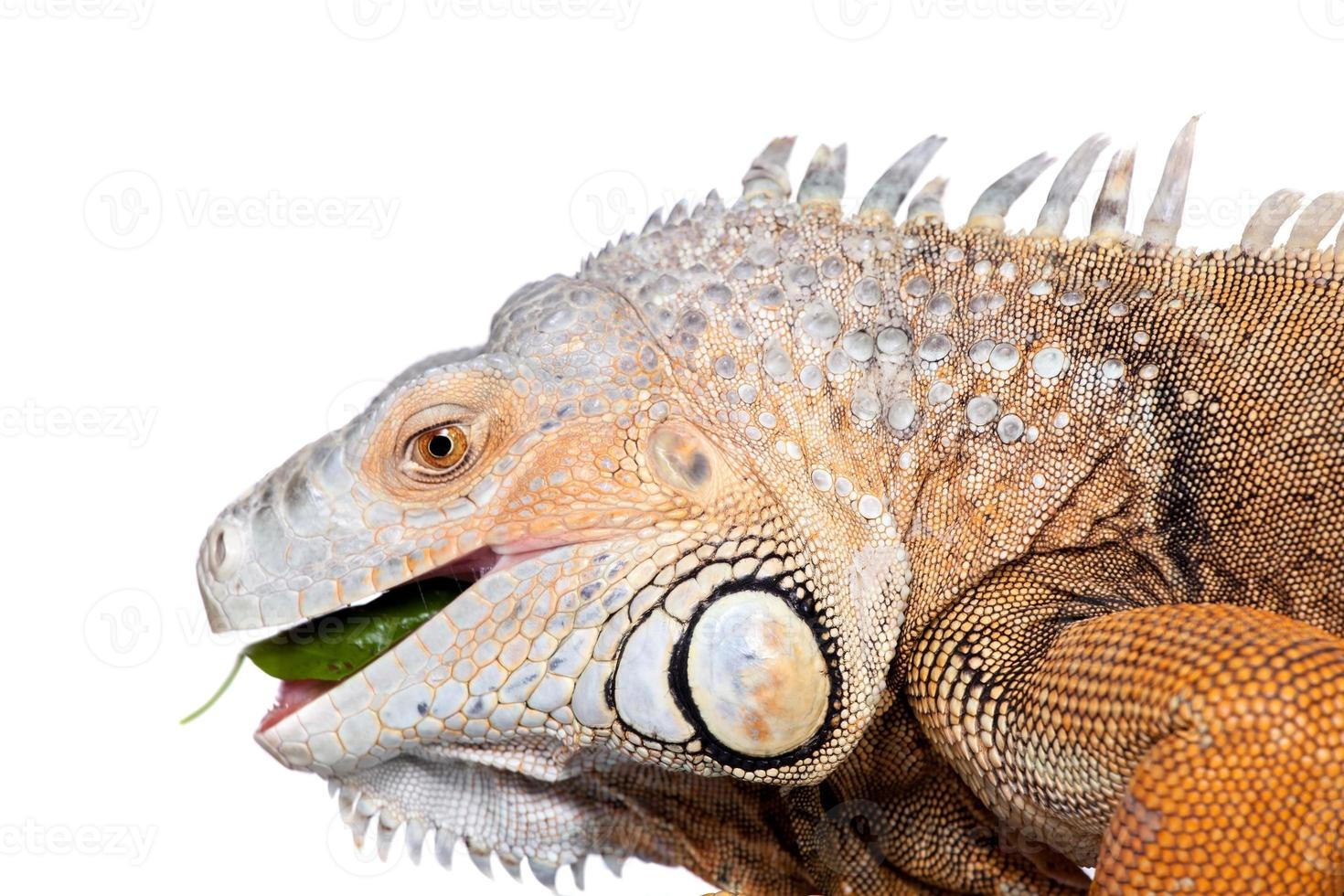 iguana verde no branco foto